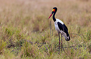 Saddle-billed stork (Ephippiorhynchus senegalensis) from Maasai Mara, Kenya.