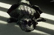 Vereinigte Staaten von Amerika, USA, Florida: amerikanischer Mississippi-Alligator (Alligator mississippiensis) rastet in einem mit Entengruen bedeckten Teich. | United States of America, USA, Florida: American Alligator, Alligator mississippiensis, resting between sun and shade in duckweed pond. |