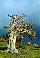 Bristlecone Pine (Pinus aristata).  Many Bristlecones apear more dead than alive, with only a few live branches.  Only a narrow ribbon of life extends from the root system to the branches.   Windy Ridge, Colorado.