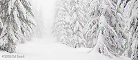 Mount Tahoma Trails cross country ski trail in an early season snowstorm, Cascade Mountain Range, Washington, USA