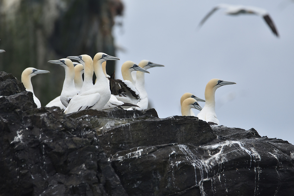 Grassholm Gannet colony<br />
