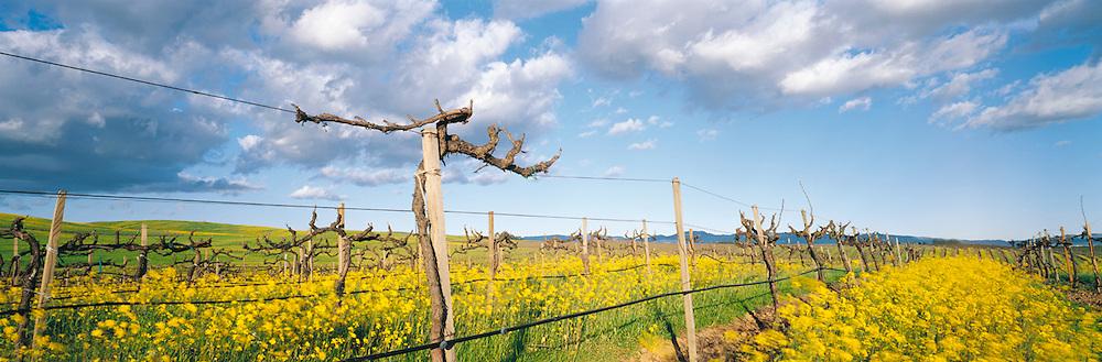 Grape Vines in Mustard