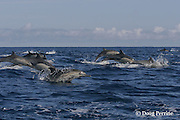 long-beaked common dolphins, Delphinus capensis (formerly lumped with common dolphin, Delphinus delphis ) porpoising out of water, off San Diego, California, U.S.A. ( eastern Pacific Ocean )