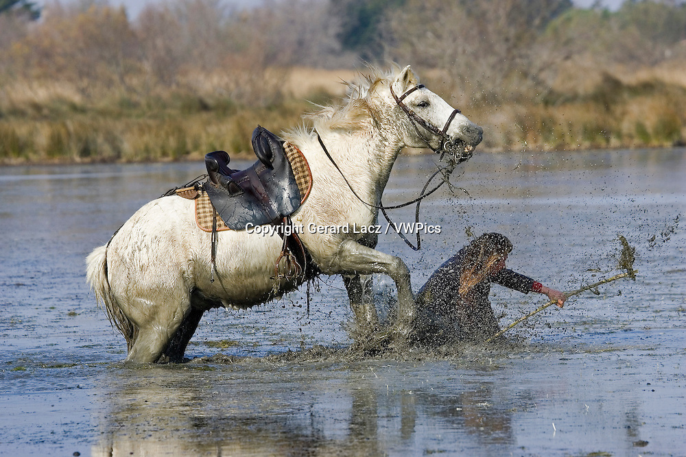 CAMARGUE HORSE, RIDER FALLING IN SWAMP, SAINTES MARIE DE LA MER IN THE SOUTH OF FRANCE