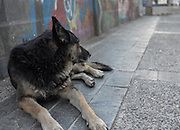 An estimated 25,000 stray dogs roam the streets of Valparaiso, Chile, a popular tourist destination and a World Heritage Site. Over 50% may have owners that let them out during the day, and bring them in at night.
