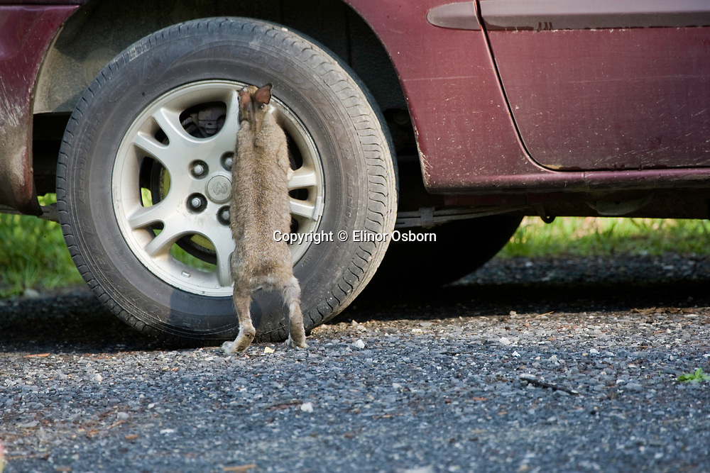 Snowshoe hare searching for minerals on car. Ticks on head