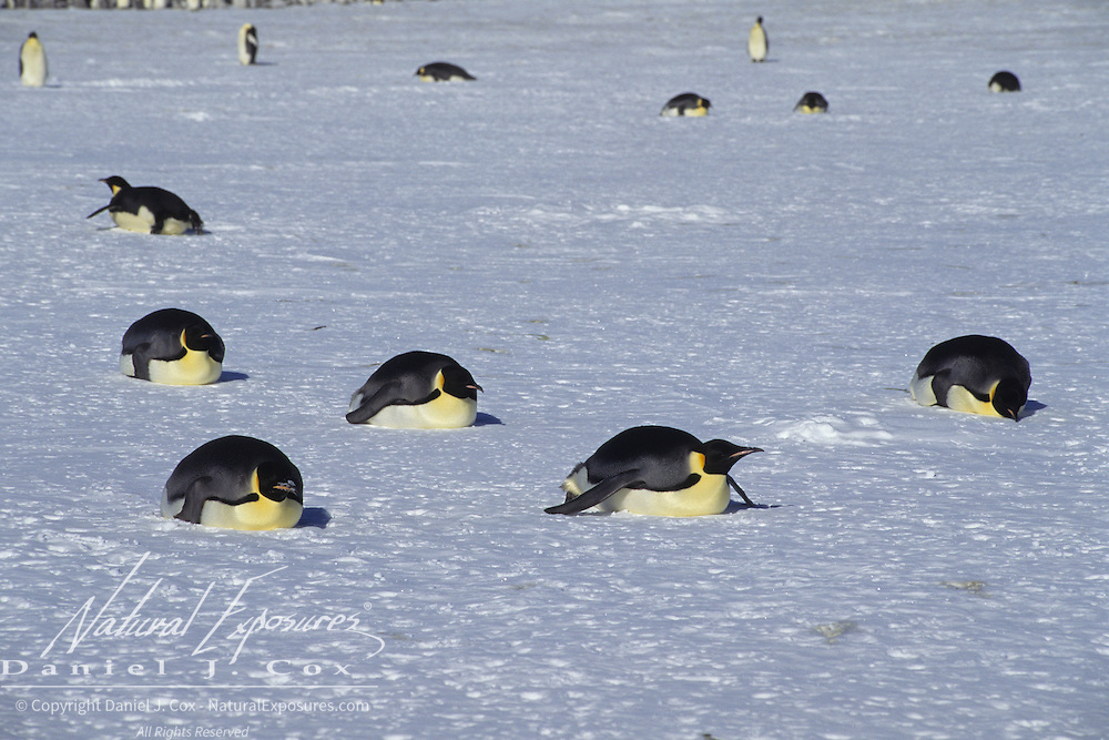 Emperor Penguin (Aptenodytes forsteri) adults sliding on their bellies at Atka Bay, Antarctica.