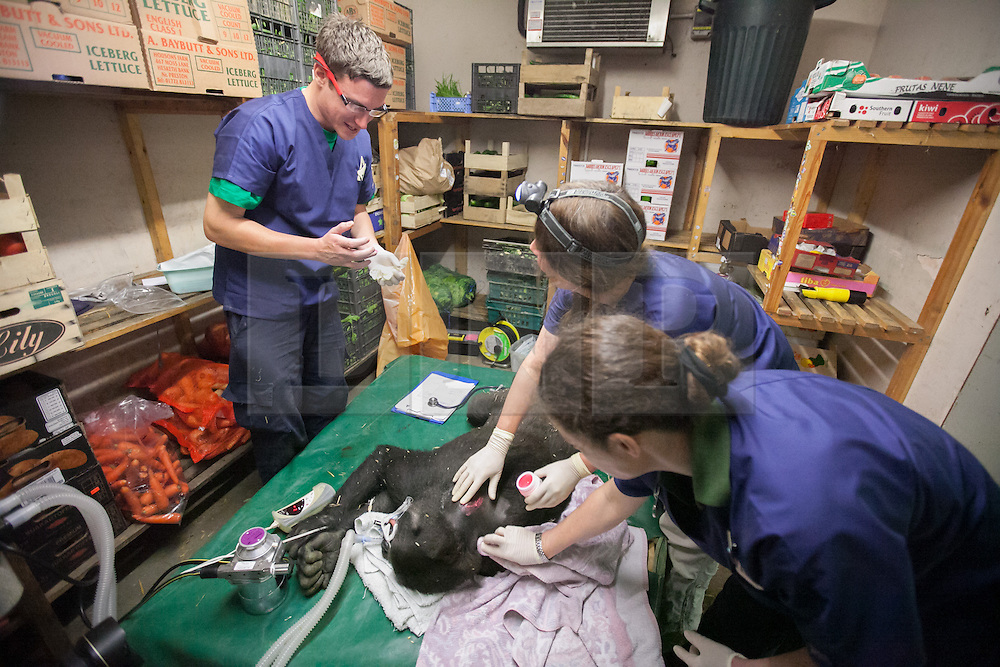 © London News Pictures. 23/06/2013. Hythe, Kent, UK (EMBARGO UNTIL 24/06/13). Vets from The Aspinal Foundation fit a transmitter to the female lowland gorilla Mwambe. A critically endangered western lowland gorilla family from Port Lympne Wild Animal Park are bound for Gabon in Africa as part of The Aspinal Foundation's Back to the Wild campaign. Djala, a 30 year old silverback, four mothers and four offspring embark on a unique 6,000 mile journey back to the wild courtesy of its partners DHL. Picture credit Manu Palomeque/LNP