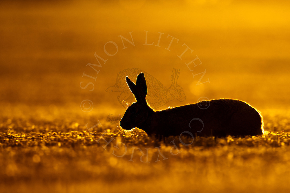 European Hare (Lepus europaeus) adult walking through barley stubble at dusk, Norfolk, UK.