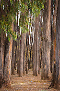 Eucalytus trees at Kenko (Q'inqu), near Cusco, Peru