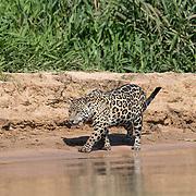 Jaguar Walks on Beach