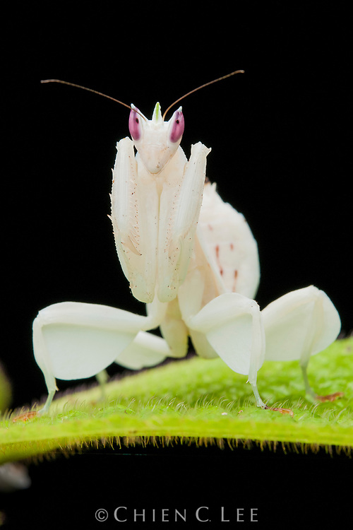 The Orchid Mantis (Hymenopus coronatus) is an ambush predator.  Utilizing its superb camouflage it waits for unsuspecting insect prey to come withing striking distance.  Pictured here is a juvenile specimen. Sarawak, Malaysia.