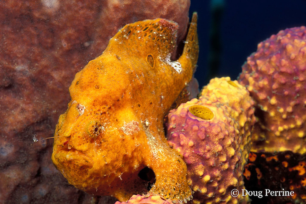 longlure frogfish or anglerfish, Antennarius multiocellatus, with illicium or fishing pole and lure extended, St. Vincent, West Indies ( Caribbean Sea )