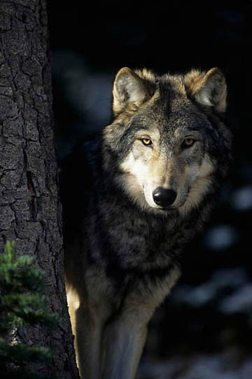 Gray Wolf, (Canis lupus) Adult. Rocky mountains. Montana.  Captive Animal.