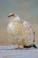 Svalbard ptarmigan male Longyearbyen on Spitzbergen in Svalbard, Norway.