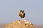 Burrowing owl <br /> Athene cunicularia<br /> Serra de Canastra National Park, Brazil