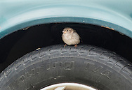 Middletown, New York -  A bird perches on a car's tire on March 15, 2015.