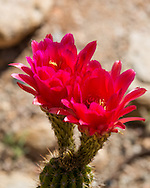 We have a few torch cacti in our yard.  The cacti can grow fairly tall but ours are relatively short.  When they are happy they put out very showy flowers.