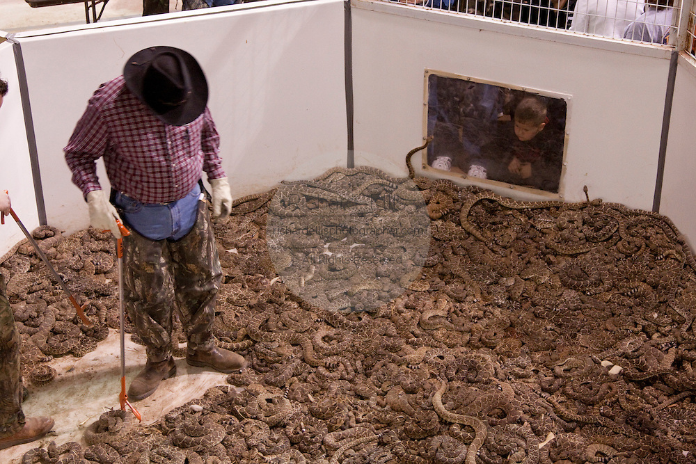 SWEETWATER, TX - MARCH 14: A Jaycees volunteer snake handler surrounded by western diamondback rattlesnakes brought in by hunters during the 51st Annual Sweetwater Texas Rattlesnake Round-Up, March 14, 2009 in Sweetwater, Texas. Approximately 24,000 pounds of rattlesnakes will be collected, milked for venom and the meat served to support charity. (Photo by Richard Ellis)
