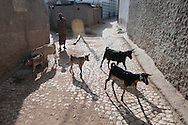 A man walks his goats through the streets of Harar, Ethiopia.