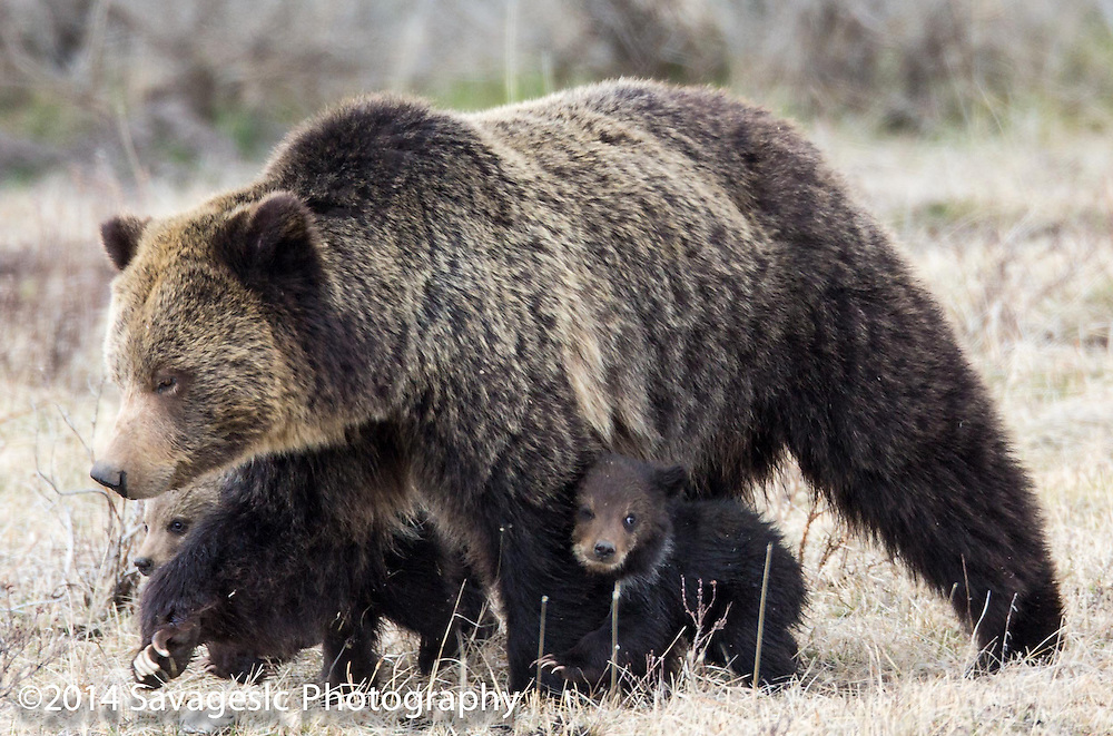 Grizzly cub staying close to mom.