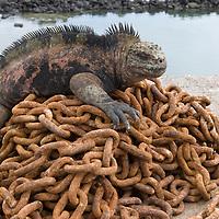 Ecuador, Galapagos Islands National Park, Santa Cruz Island, Puerto Ayora, Marine Iguana (Amblyrhynchus cristatus) resting on anchor chains at boat dock near Darwin Research Station in