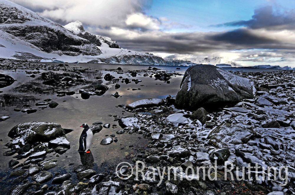 Antarctica - Gentoo Penguins at Cuverville Island in Antarctica . Cuverville Island or Île de Cavelier de Cuverville is a dark, rocky island lying in Errera Channel between Arctowski Peninsula and the northern part of Rongé Island, off the west coast of Graham Land in Antarctica. Photo Raymond Rutting