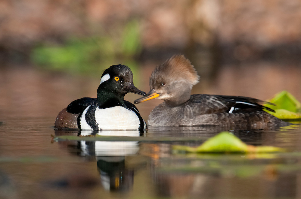 Hooded Merganser, Lophodytes cucullatus, male and female, Lapeer County, Michigan