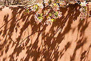 Abiquiu, New Mexico, Georgia O'Keefe home, adobe wall, spring blossums