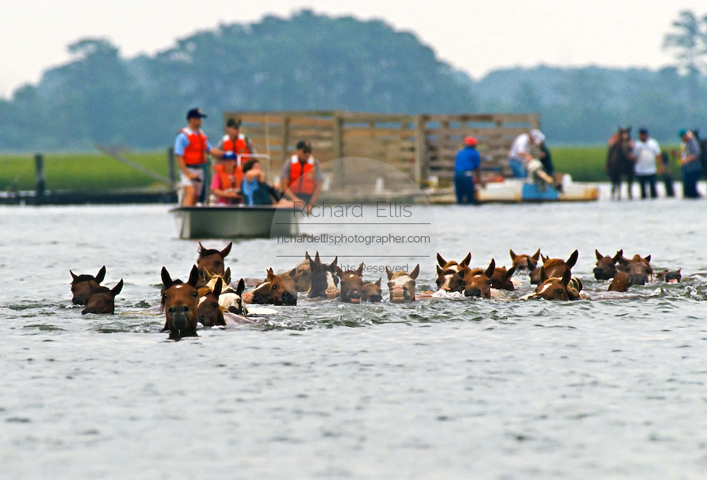 The wild ponies of Chincoteague swim across the channel from Assateague Island to Chincoteague Island during the annual Pony Swim, July 27, 2011 in Chincoteague, Virginia.