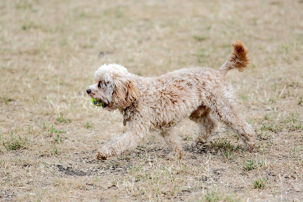 This is Percy the Cavapoo, a tiny Cavalier King Charles Spaniel toy poodle cross, camouflaged in the scorched grass.