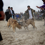 November 16, 2012 - Kabul, Afghanistan: Local men watch a traditional dog fight in a neighbourhood of Kabul. Dog fight, an highly popular activity in Afghanistan, was forbidden under Taliban rule. (Paulo Nunes dos Santos)