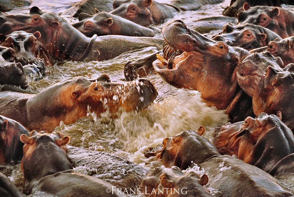 Hippos sparring, Hippopotamus amphibius, Luangwa River, Zambia