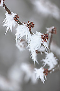 A heavy buildup of rime frost on Silver Maple (Acer saccharinum) buds and twigs