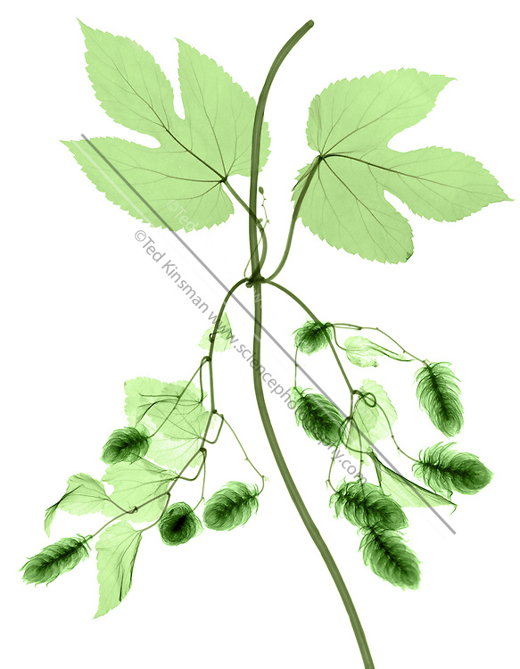 X-ray Hops plant. Hop flowers on the vine (Humuluslupulus). This plant grows throughout Europe and the Americas.  Hops is extensively cultivated for the production of beer. Preparations of its flowers are used in herbal medicine to aid digestion and to relieve fever.