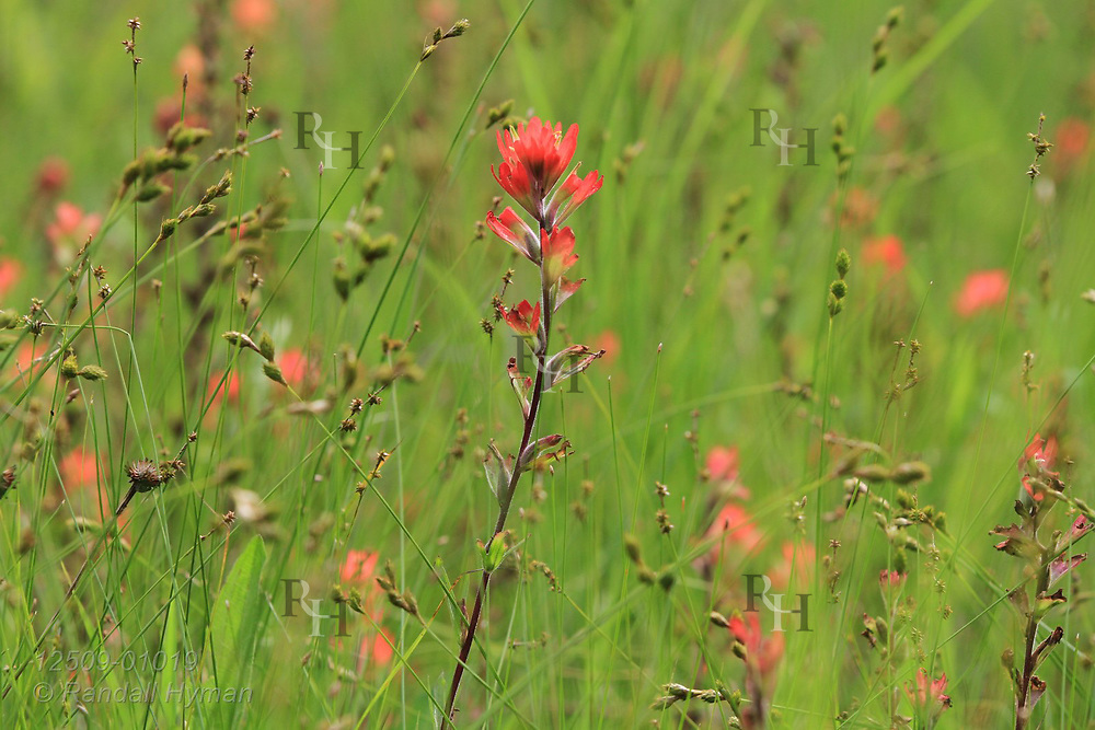 Scarlet Indian paintbrush (Castilleja coccinea) is plentiful in marshy grasslands of Grasshopper Hollow, the largest, most significant fen complex in unglaciated North America; Reynolds, Missouri.