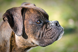 Boxer.  Owner Vicky Decenzo , Pet Portrait Photography