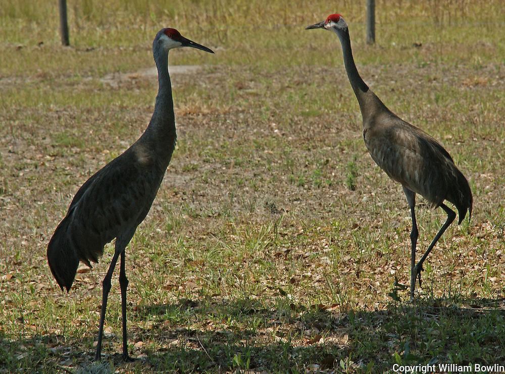 Male and Female Sandhill Cranes
