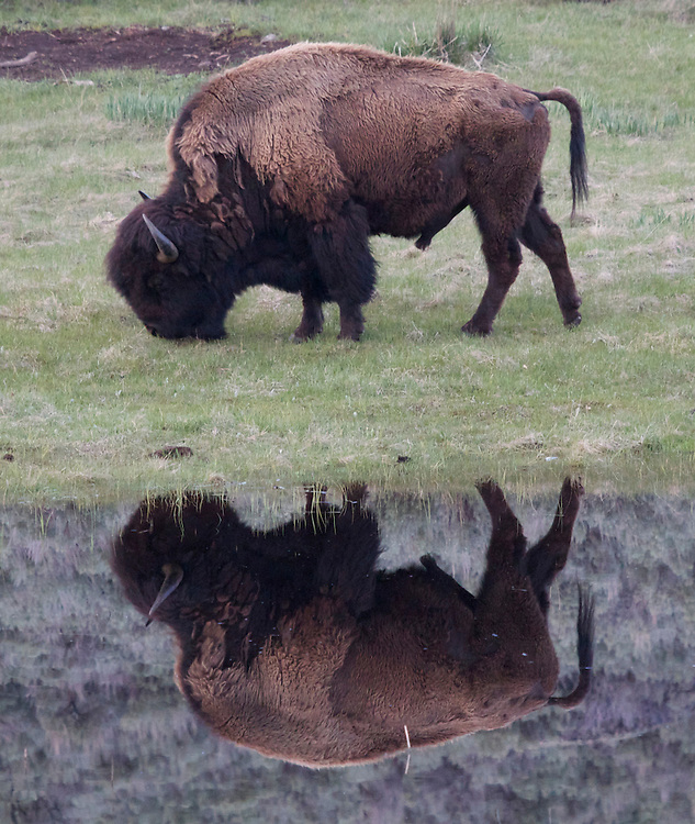 Buffalo reflection, Yellowstone