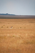 A pronghorn antelope roaming the grasslands near Cimarron, New Mexico.