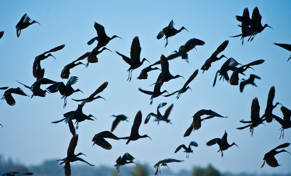 White-faced Ibis fill the skies over the rice fields near Marysville. Their recovery in recent decades attests to the successful efforts of government, farming and citizen conservation to restore the wetlands of the Central Valley.