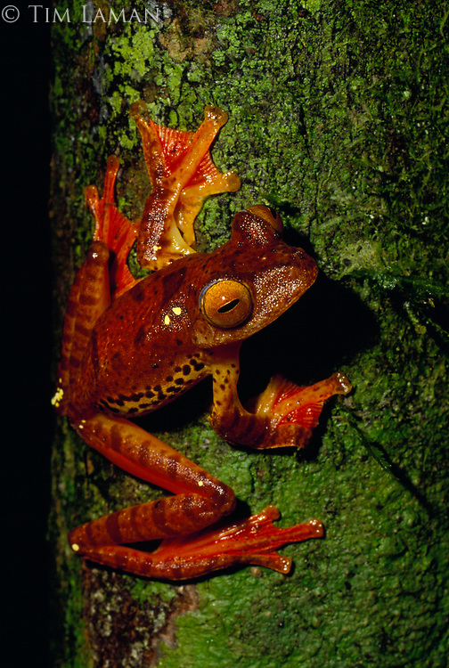 Harlequin Tree Frog (Rhacophorus pardalis), one of the gliding frogs of Borneo, perched on a tree trunk.<br /> Danum Valley Conservation Area, Sabah, Malaysia.