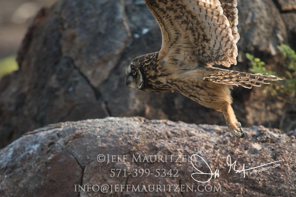 A Galapagos short-eared owl on Genovesa island part of the Galapagos archipelago of Ecuador.