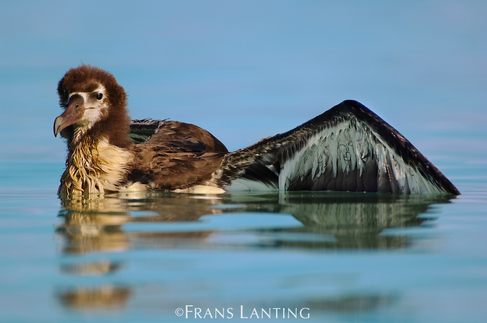 Waterlogged laysan albatross juvenile, Phoebastria immutabilis, Midway Atoll, Hawaiian Leeward Islands