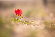 Red Desert Tulip (Tulipa systola) Photographed in the Negev Desert, Israel in March