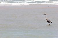 Great Blue Heron at Boca Chica, mouth of the Rio Grande/Rio Bravo River between Texas, USA and Tamaulipas, Mexico.