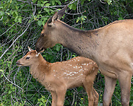 Elk cow cleans ear on its calf. Seeds are visible in the calf's fur, probably from the invasive houndstongue, Cynoglossum officinale, adapted to spreading by clinging to mammal fur. Greater Yellowstone Ecosystem, © 2019 David A. Ponton