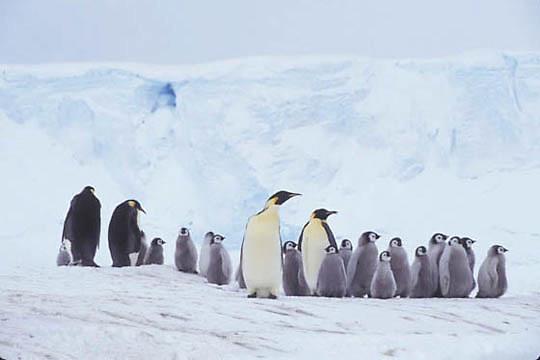 Emperor Penguin, (Aptenodytes forsteri) Adults and chicks. Riiser Larsen ice shelf. Antarctica.