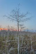 Dwarf cypress forest at sunset, Everglades National Park, Florida