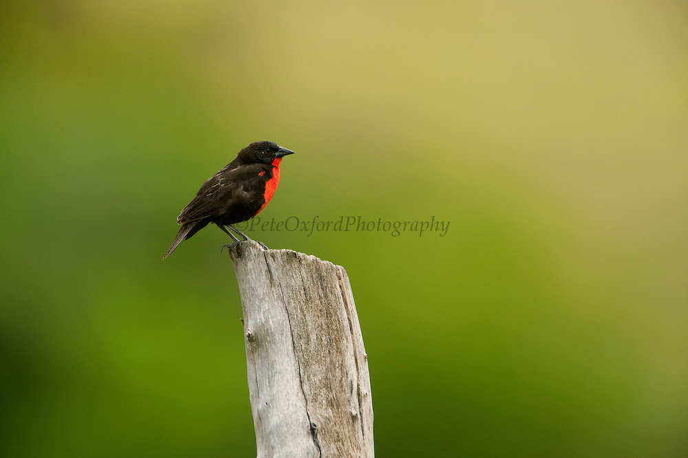 Red-breasted Blackbird (Sturnella militaris)<br /> Savannah, Rupununi<br /> GUYANA<br /> South America<br /> RANGE: Costa Rica, which it has recently colonised, and Trinidad, south to northeastern Peru and central Brazil.